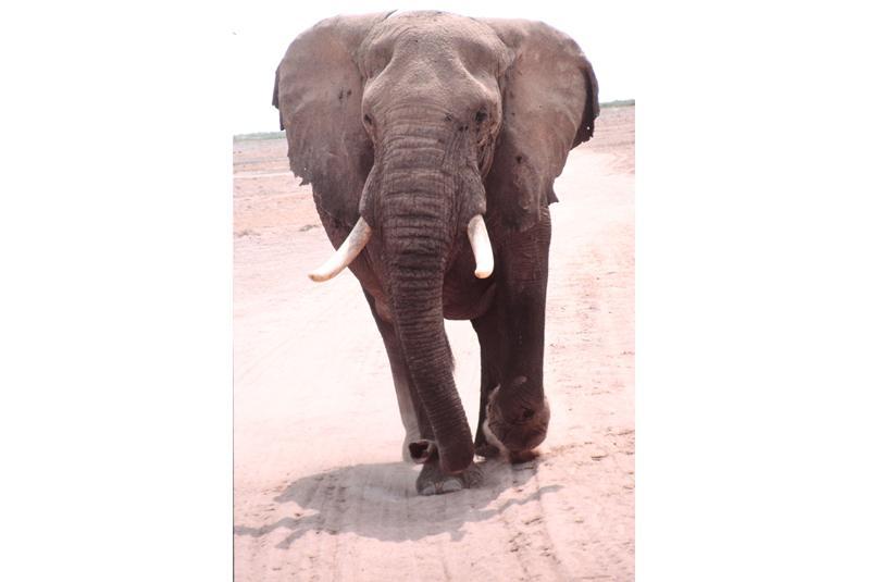 Elefantenbulle von vorne